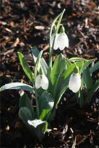 Galanthus Fred's Giant